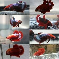 TWO Red Hellboy Fancy Betta Fish Male Plakat Halfmoon Mystery Pack