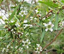 Leptospermum petersonii (Lemon Tea Tree) in 50mm forestry tube native plant