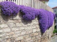 ROCK CRESS MIX - 600 SEEDS - Aubrieta cultorum - ROCKERY FLOWER groundcover