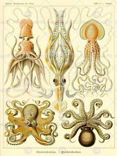 NATURE ART ERNST HAECKEL OCTOPUS BIOLOGY GERMANY VINTAGE POSTER ART PRINT 868PY
