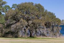 LIVE OAK TREE SAPLING QUERCUS VIRGINIANA LIVE PLANT EXOTIC SHADE SEEDLING ACORNS