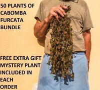 50 plants of Cabomba Piauhyensis Furcata Fanwort planted tank aquarium plants