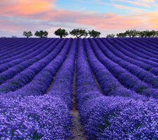 400pcs Lavender English Seeds Organic, Untreated Herb Seeds Garden Deocr PT121