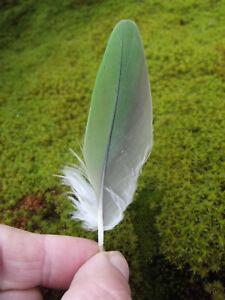 Alexandrine PARROT green feather