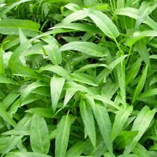 V388 Kang Kong x10 seeds, Ipomoea Aquatica, Water Spinach, Chinese Watercress