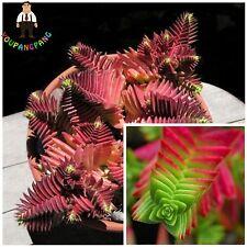 RARE CRASSULA Capitella Thyrsiflora 'Red Pagoda, sempervivum, SEEDS