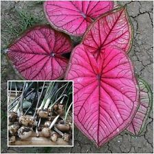 Caladium 1 Bulb Queen of the Leafy Plants Misap Colourful Tropical Thailand