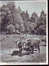 1952  --  ATTELAGE DE BOEUF AU COL DE LA MORENO  Q116