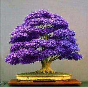 Purple Ghost Japanese Maple Bonsai Tree Seeds - Acer Palmatum - 10 Seeds