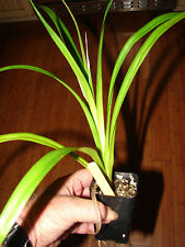 Hawaiian HALA Stilt Root Screw Pine Pandanus tectorius LIVE Plant Seedling Zone9