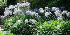 Agapanthus BLUE SEEDS (20) Garden Flower Plant