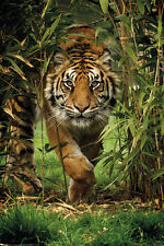 BAMBOO TIGER 24x36 POSTER NEW NATURE ANIMALS LOVE CAT PREDATOR BEAUTY PANTHERA!!