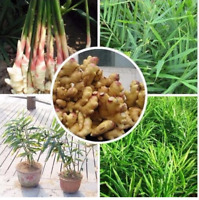 100 PCS Seeds Perennial Ginger Bonsai Chinese Zingiber Officinale Vegetable Rare