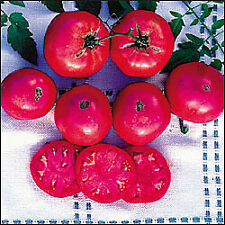 Giant Syrian Tomato - 20 Seeds - Large Pink Fruits