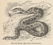 C8445 Hortulia Natalensis - Stampa antica - 1892 Engraving