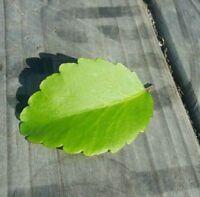 2 LEAVES Kalanchoe pinnata Miracle Leaf Air Plant Goethe-Plant*