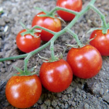 Sweetie Tomato ~25 Seeds - Heirloom, Non-Gmo, Vegetable Gardening Seeds