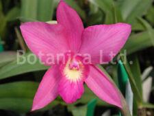 New listing Botanica Ltd. Sc. Carol Lynn (coccinea x walkeriana) *Bloom Size* Orchid Plant