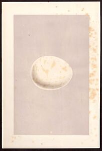 "1875 vintage MORRIS bird egg ""ERNE"" original woodblock print by Fawcett"