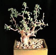 Guggul myrrh tree, Commiphora wightii exotic caudex mukul bonsai seed 5 seeds
