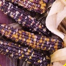 100 Wampum Ornamental Corn Seeds - Everwilde Farms Mylar Seed Packet