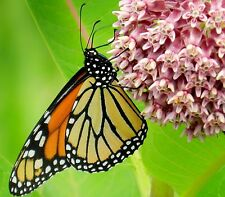 COMMON MILKWEED Asclepias Syriaca,ONLY plant monarch caterpillars eat! 100 Seeds