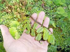 Plantas de acuario, estanque.SALVINA (PLANTA FLOTANTE)5 plantas