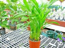 A beautiful natural flowe plant Seeds for your indoor garden and home
