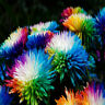 CHRYSANTHEMUM DAISY Rainbow flower Single Mixed Seeds Courtyard Flower Planting