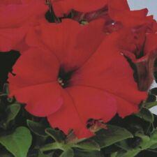 Fleur-Petunia-Mélange Patriot Express F1-250 graines enrobées-Large
