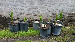 1 Coconut Palm Tree sprouted (Malayan  )