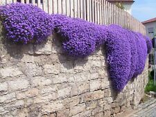 ROCK CRESS CASCADE MIX - 300 SEEDS - Aubrieta cultorum hybrida - ROCKERY FLOWER