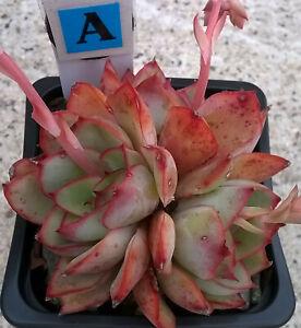 BA. Echeveria - succulent 70mm pot succulents, cacti, etc