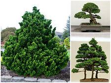 50 semi di Chamaecyparis obtusa, falso cipresso, semi bonsai