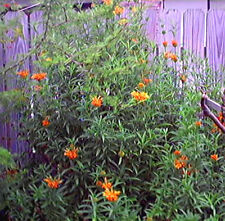 25 KLIP DAGGA Lions Tail Leonotis Nepetifolia Herb Seed