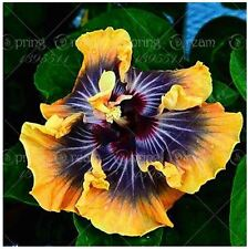 AA 10PC Giant Hibiscus Flower Seeds chinese cheap flower Hibiscus Shine Brown