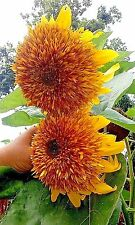 Tigers Eye Sunflower #3 -15 Seeds Lots of double flowers on each plant! Comb.S/H