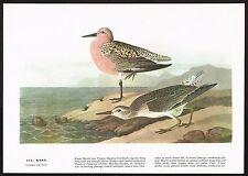 1930s Original Vintage Audubon Knot Bird Limited Edition Art Print