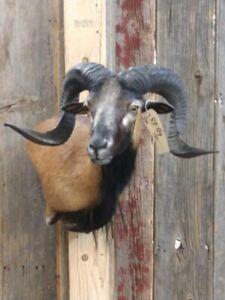 Corsican Cross Ram Sheep Shoulder Mount Taxidermy