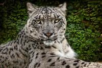 Snow Leopard by Chris Lord Photo Art Print Poster 24x36 inch