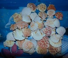1/2 POUND of PECTEN AMICULAM  SCALLOPE SINGLE SEA SHELLS BEACH DECOR CRAFT