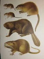Vintage Natural Historia Estampado ~ Almizcle Rata Banco Vole Castor Nutria