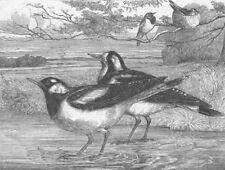 AUSTRALIA. Magpie-larks of, London Zoo, antique print, 1863