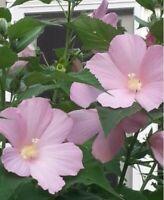 25 Hardy Soft Pink Hibiscus Seeds - organically grown, self-seeding