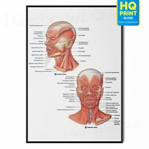 FACIAL MUSCLE Human Face Anatomy Detailed Axial Muscle POSTER  *LAMINATE* A4 A3