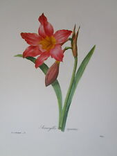 P. J. Redoute print # 3 Amaryllis Equestre Victor