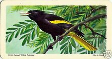RED ROSE TEA CARD, SERIES: TROPICAL BIRDS, YELLOW-WINGED CACIQUE