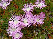 Disphyma crassifolium- Jelly Beans - 20 seeds