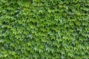 Boston Ivy starter plants, 10-12 inches long, well rooted