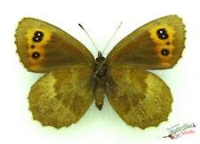 Scotch Argus butterfly SET x1 Erebia aethiops US Female specimen France